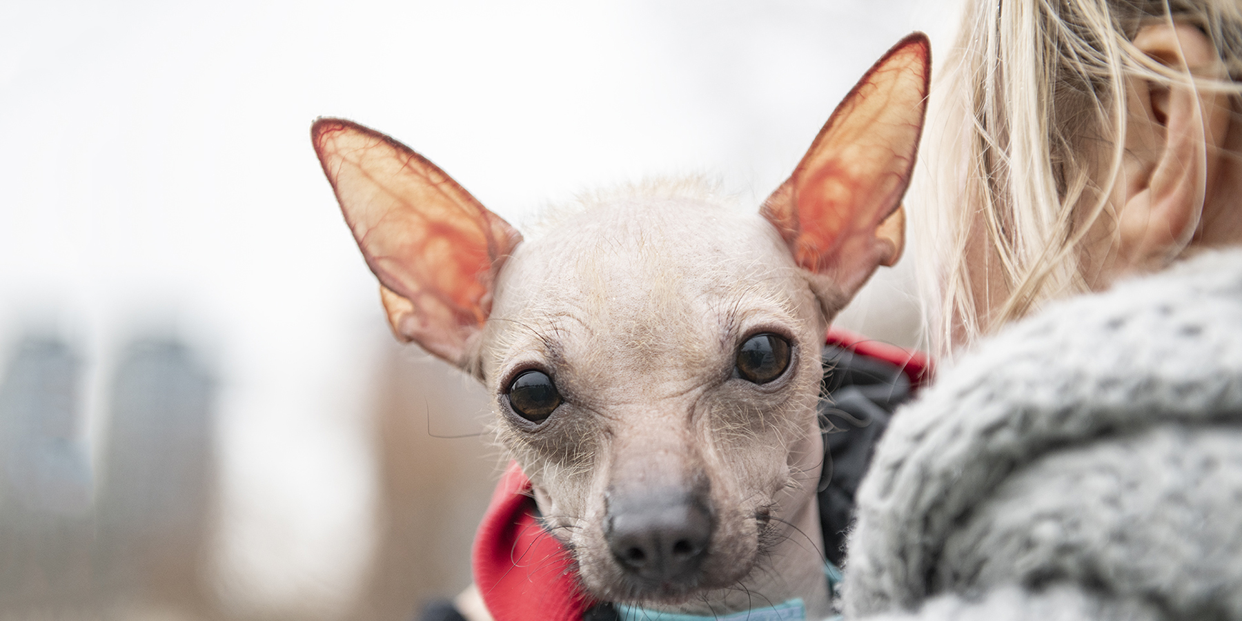 Charlie my friend's rescue Hairless Chihuahua